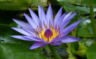 National Flower (Blue Water Lily)